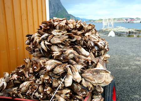 Codfishes heads in Lofoten Islands, Norway, Europe