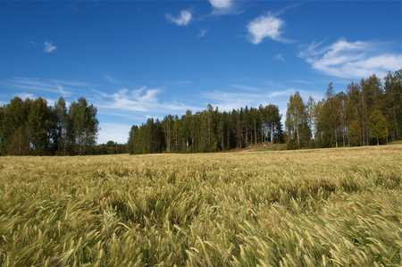 Field corn rye, blue sky in Sweden in September