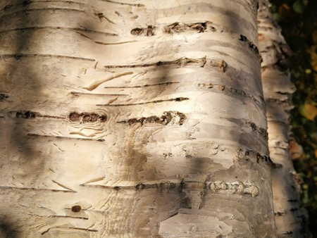 The texture of birch bark as natural organic background
