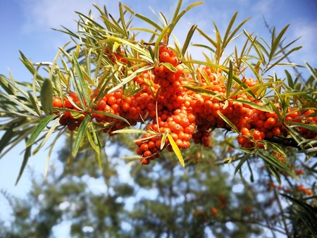 orange sea-buckthorn with green twig in autumn