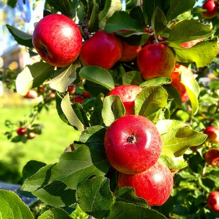 Apple tree ripe red apples
