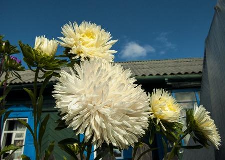 Luxurious Aster flower Фото со стока