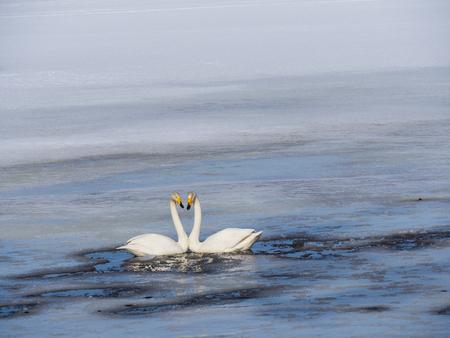 swan lake in sweden