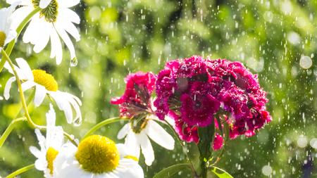 rainy Dianthus barbatus in the garden Фото со стока