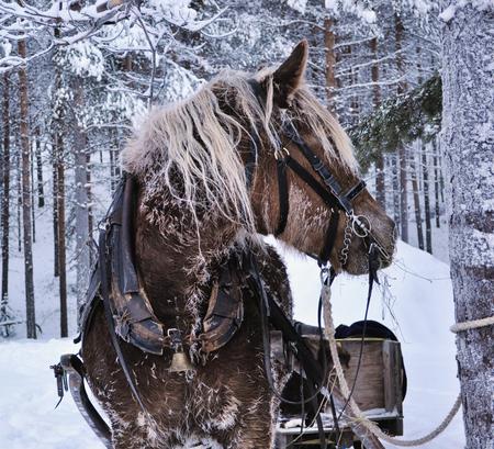 horse in the north of Scandinavia market Фото со стока