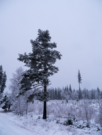 Winter forest in swedish lapland Stok Fotoğraf