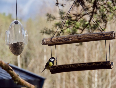 Great Tit feeding on the forest background.
