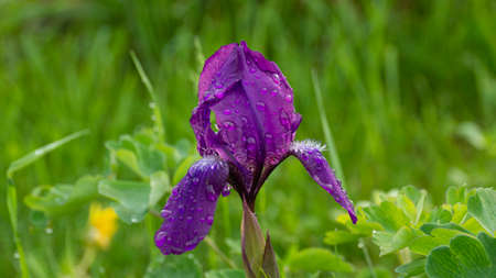 Spring iris (Moraea sisyrinchium) grows in a meadow Standard-Bild - 162938239