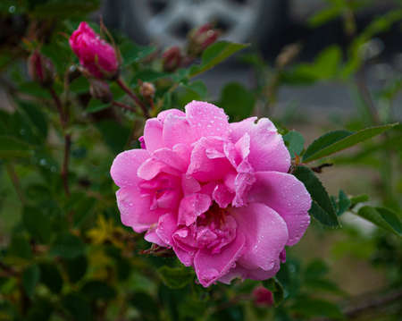 Branch of pink Briar With Flower and Water Drops in the Rain Standard-Bild - 162939078