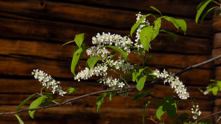 Prunus padus on wooden background