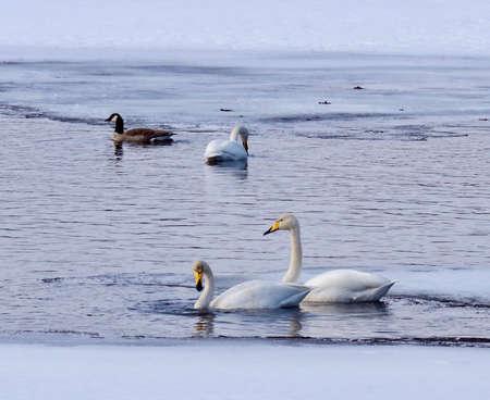 swan lake in the North of Sweden, spring is begining Standard-Bild