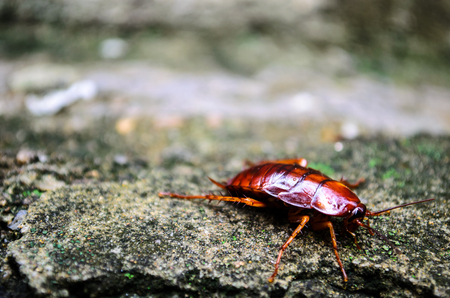 revolting: Close up of red cockroach enjoying sun