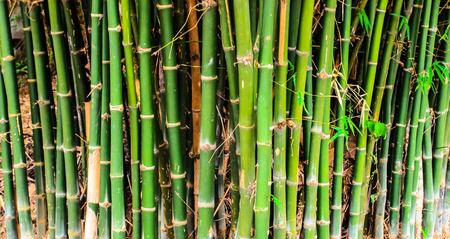 clump: Close up of clump of bamboo stems