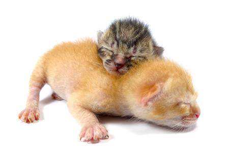wail: Focus on newly born tabby kitten with ginger kitten