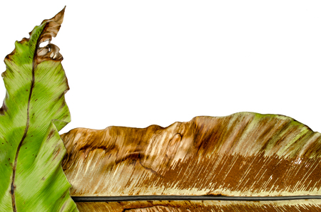 decaying: Close up of decaying birds nest fern leaf
