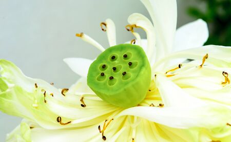lotus seeds: Green lotus seeds with some loosc petals