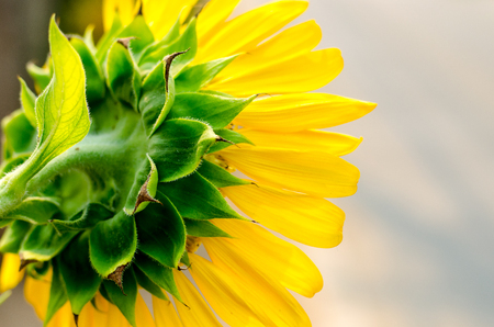 view from behind: View from behind the flower of sunflower Stock Photo