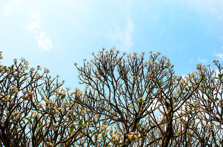 whiteness: Photo of frangipani tree with sky background Stock Photo