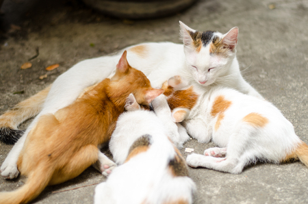 mamma: Kittens brood feeding by mother cat