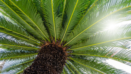 Sago palm growing under the bright sun