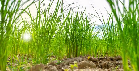 Worm's eye view of rice field under clouds 版權商用圖片