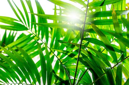 Sun shining through leaves of palm tree Stockfoto