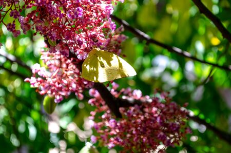 Star fruit (carambola ) blossom on tree with butterfly