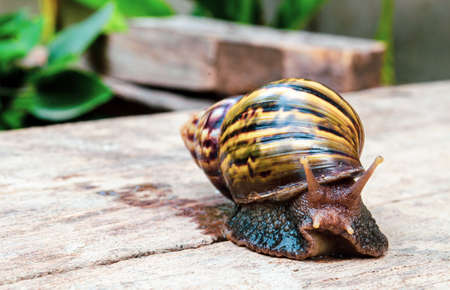 Brown giant snail walking slowly by itself on wood