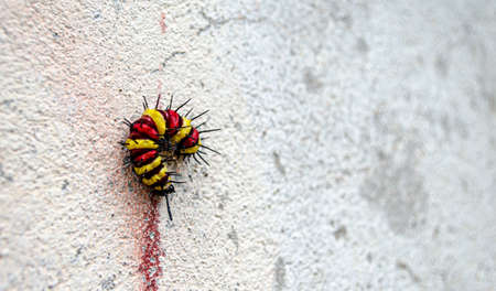 Beutiful color butterfly caterpillar on with wall Stock Photo