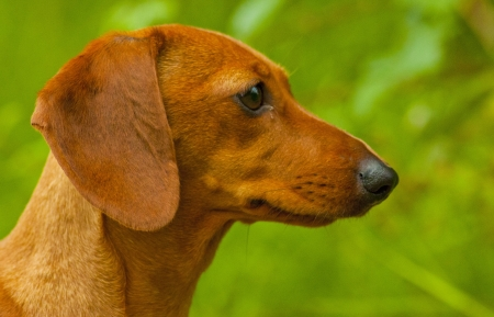 intrigued: Intrigued Dachshund