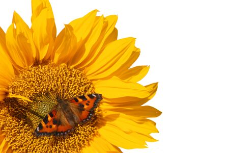 giant sunflower: Red Admiral on Sunflower