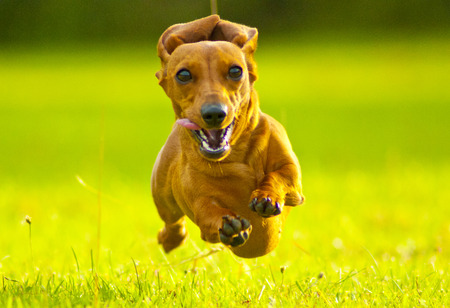 Front view of a dachshund running fast towards camera in a grassy field