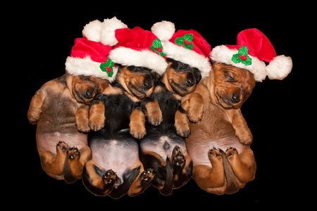 Four sleeping new born Dachshund puppies with santa hat Standard-Bild