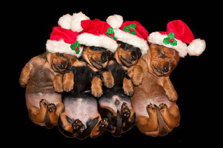 Four sleeping new born Dachshund puppies with santa hat Stockfoto