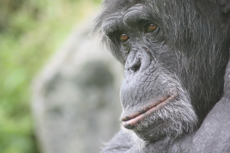 An old chimpanzee with a content expression