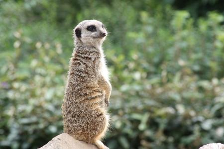 buena postura: Una suricata sentado altura para vigilar Foto de archivo