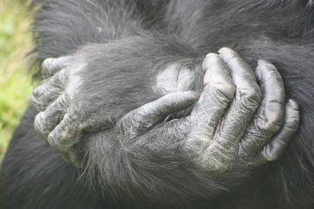 chimpances: Close up de brazos cruzados de chimpancé