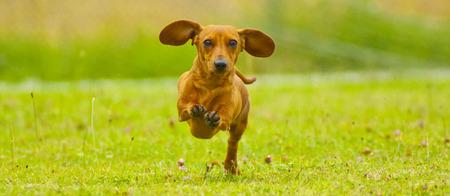 speedy: Speedy Dachshund Stock Photo