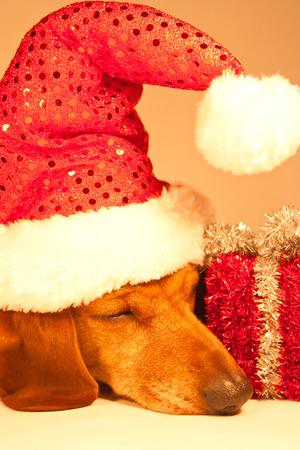 Dachshund Christmas photo
