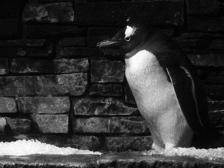 arctic penguin: Arctic Penguin Stock Photo