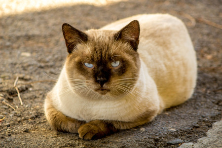 A beautiful Siamese cat relaxing, in the shade.