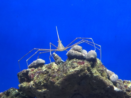 An Arrow Crab sits watching on top of coral, with a blue background.