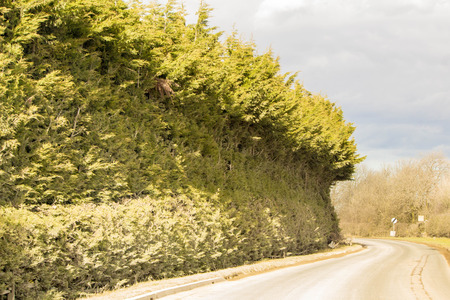 A tall roadside hedge has been shaped strangely to the shape of high sided vehicles.
