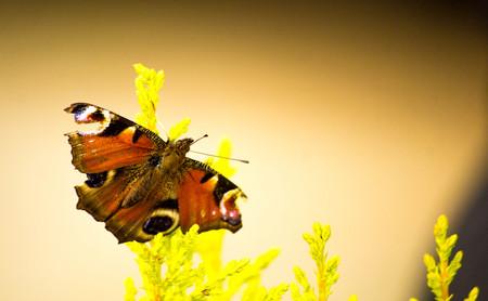 A beautiful orange butterfly.