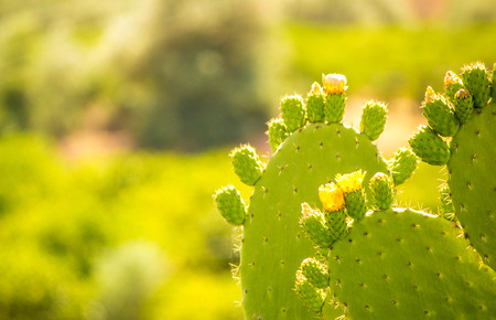 A closeup view of a typical cactus plant, in Sicily.