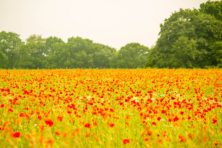 A field of beautiful red poppies growing in the heart of England, UK. 免版税图像