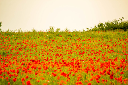 A field of beautiful red poppies growing in the heart of England, UK. Stock Photo