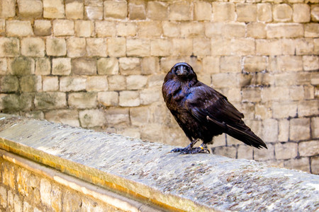One of the many Raven birds at the Tower of London, United Kingdom. Stock Photo