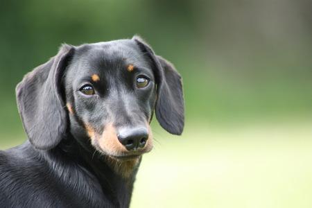 The wonderful breed of the Miniature Dachshund, dog. Imagens