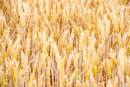 A wheat field ready for its harvest, in the United Kingdom. Stock Photo
